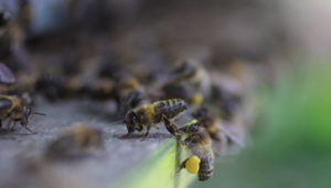 emeraude id abeille pollen