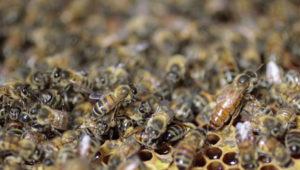Emeraude id ruche reine abeille