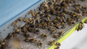 Emeraude id miel abeille ruche
