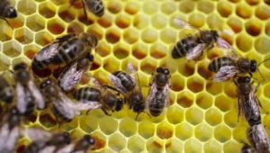 emeraude id abeille lannion